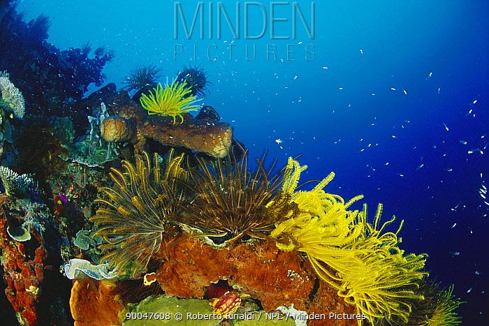 Crinoid featherstars, Walea, Toigan Islands, Indonesia  -  Roberto Rinaldi/ npl