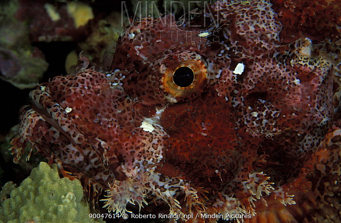Tassled Scorpionfish (Scorpaenopsis oxycephala), Sulawesi, Indonesia  -  Roberto Rinaldi/ npl