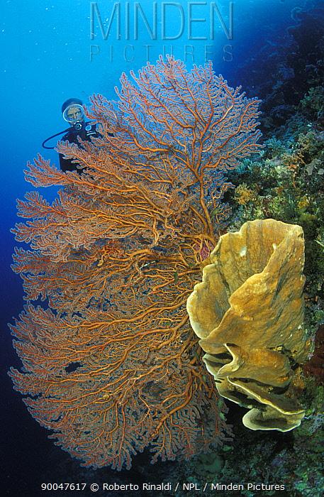 Diver behind big sea-fan and vase sponge, Toigan islands, Sulawesi, Indonesia  -  Roberto Rinaldi/ npl