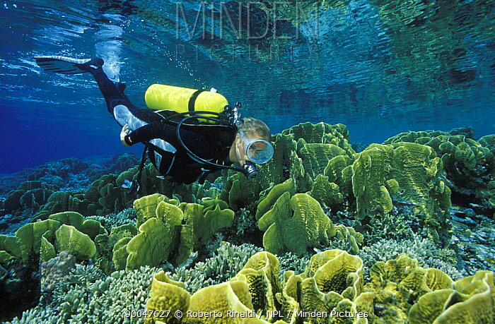 Diver with large colonies of blue coral (Heliopora coerulea), Togian Islands, Sulawesi, Indonesia  -  Roberto Rinaldi/ npl