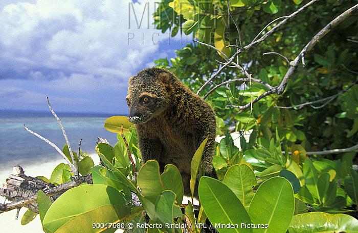 Bear Cuscus (Ailurops ursinus), to Indonesia, in tree beisde beach, Sulawesi  -  Roberto Rinaldi/ npl