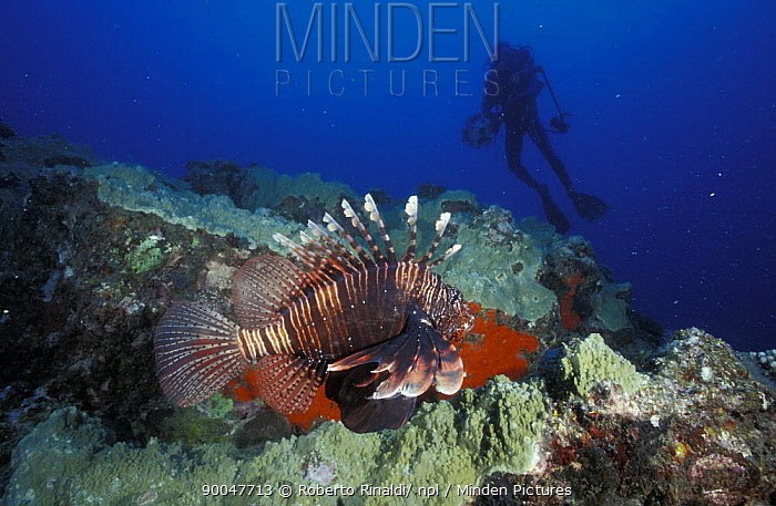 Zebra Lionfish (Dendrochirus zebra) and diver, Mauritus  -  Roberto Rinaldi/ npl