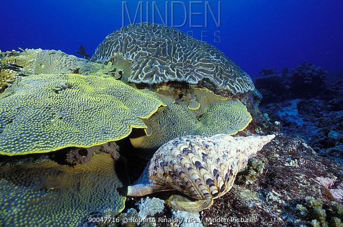 Atlantic Trumpet Triton (Charonia tritonis), Tubbataha reef, Palawan, Philippines  -  Roberto Rinaldi/ npl