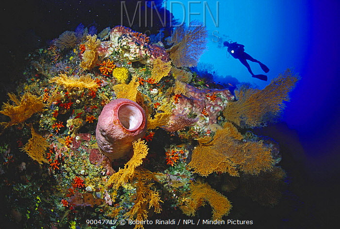 Diver on wall dive, Tubbataha reef, Palawan, Philippines  -  Roberto Rinaldi/ npl