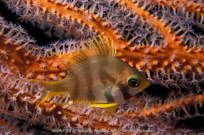 Damselfish (Amblyglyphidodon sp) inbetween branches of a gorgonian seafan, Philippines  -  Roberto Rinaldi/ npl