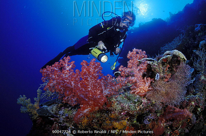 Diver looking at Alcyonarian soft corals (Dendronephthya sp) on reef, Philippines  -  Roberto Rinaldi/ npl