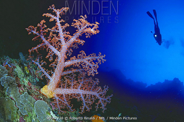 Alcyonarian soft coral (Dendronephthya sp) and diver, Philippines  -  Roberto Rinaldi/ npl
