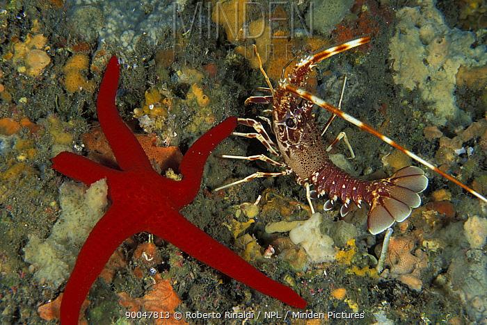 Tiny (3cm) common, European spiny lobster (Palinurs elephas) and red seastar (echinaster sepositus), Italy  -  Roberto Rinaldi/ npl