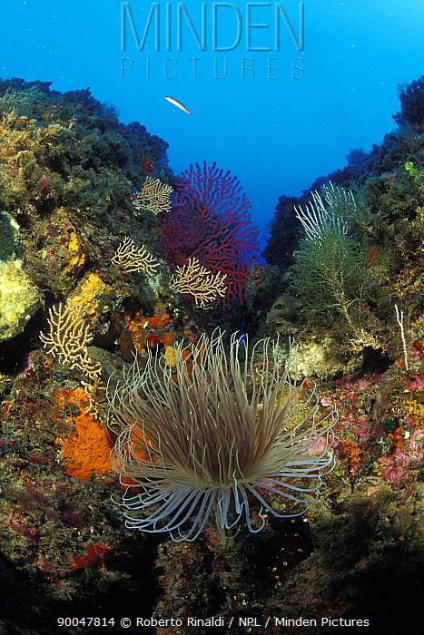 Tube-dwelling Anemone (Cerianthus membranaceus), gorgonian sea fans, sponges and algae Palmi, Italy  -  Roberto Rinaldi/ npl