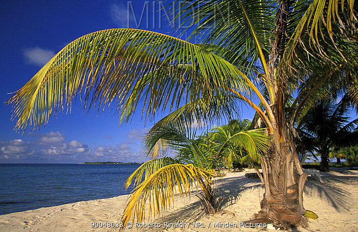 Palm trees on a white sandy beach at Lighthouse Reef Resort, Belize  -  Roberto Rinaldi/ npl