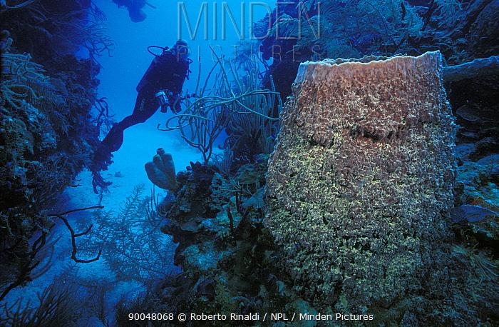 Giant barrel sponge (Xestopongia muta) with a scuba diver on a Caribbean reef, Belize  -  Roberto Rinaldi/ npl
