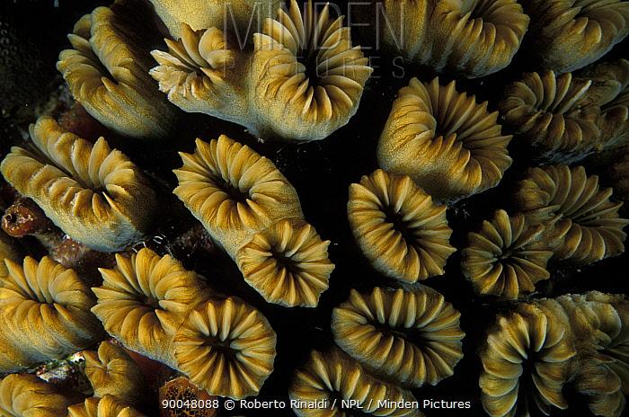 Close-up of flower coral (Eusmilia fastigiata) growing in a reef, Belize  -  Roberto Rinaldi/ npl