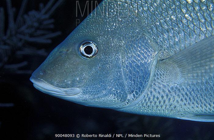 White margate, Red-mouthed grunt (Haemulon album), Belize  -  Roberto Rinaldi/ npl