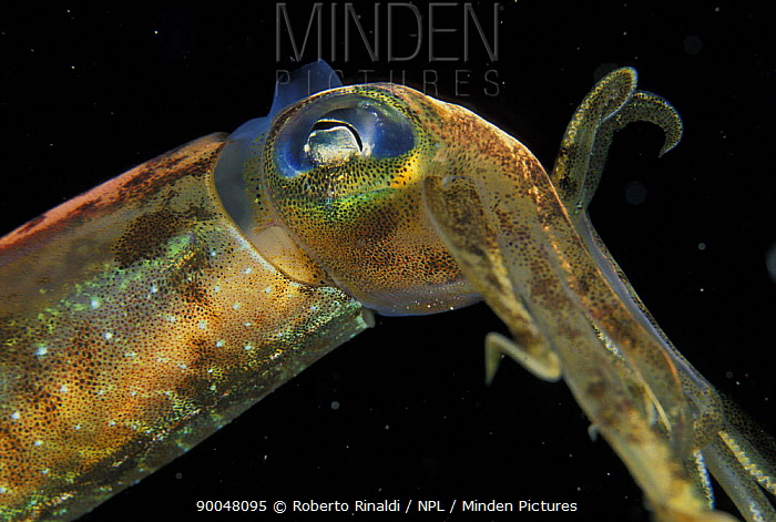 Caribbean reef squid (Sepioteuthis sepioidea), the only squid species commonly sighted by divers over inshore reefs in Belize  -  Roberto Rinaldi/ npl