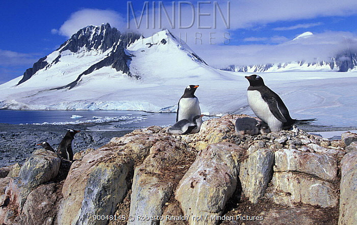 Gentoo Penguin (Pygoscelis papua) nesting with chicks, Port Lockroy, Antarctica  -  Roberto Rinaldi/ npl