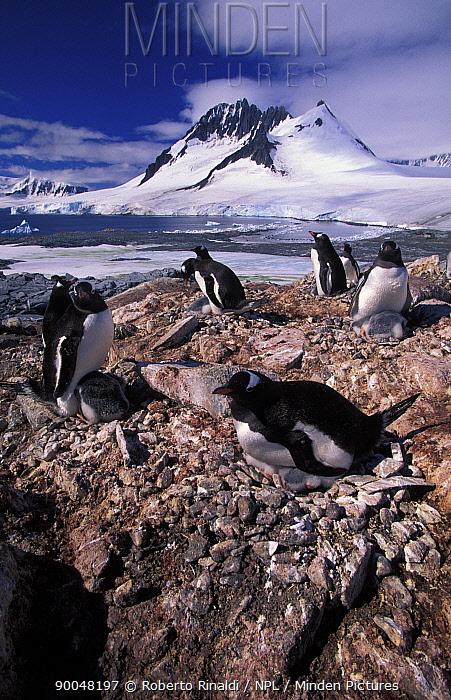Gentoo Penguin (Pygoscelis papua) colony with chicks, Port Lockroy, Antarctic Peninsula, Antarctica  -  Roberto Rinaldi/ npl