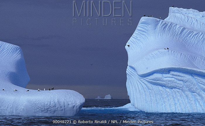 Adelie Penguin (Pygoscelis adeliae) on weathered icebergs, Antarctic Peninsula, Antarctica  -  Roberto Rinaldi/ npl