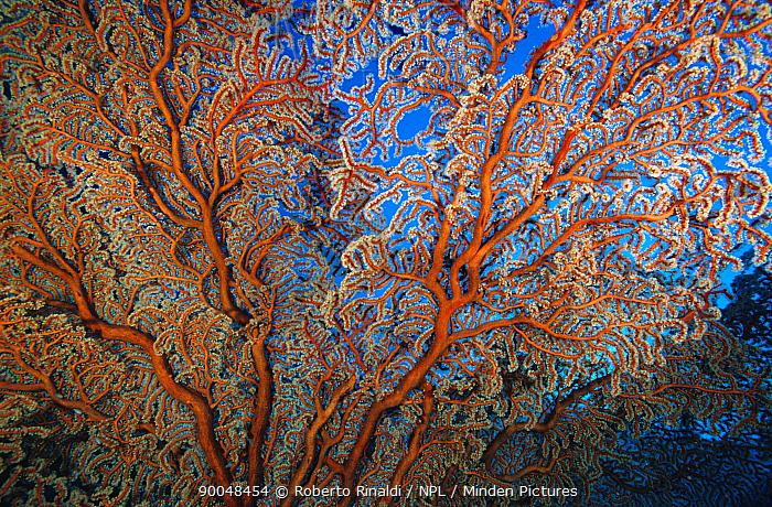 Detail of Gorgonian sea fan (Melithaea sp), Papua New Guinea, Oceania  -  Roberto Rinaldi/ npl