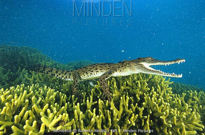 Saltwater Crocodile (Crocodylus porosus), Papua New Guinea  -  Roberto Rinaldi/ npl