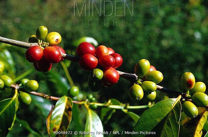 Coffee beans (Rubiaceae) growing, Mount Hagen, Papua New Guinea  -  Roberto Rinaldi/ npl