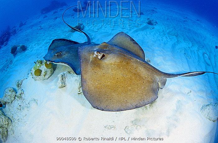 Stingray (Dasyatidae) Grand Cayman, Cayman Islands  -  Roberto Rinaldi/ npl
