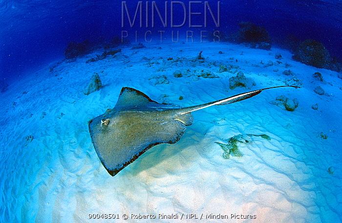 Stingray (Dasyatidae), Grand Cayman, Cayman Islands  -  Roberto Rinaldi/ npl