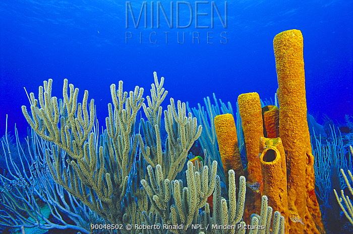 Giant tube sponge and sea fans, Cayman Islands  -  Roberto Rinaldi/ npl