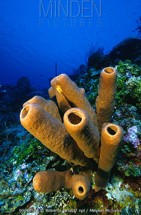 Sponge (Agelas sp), Cayman Islands  -  Roberto Rinaldi/ npl