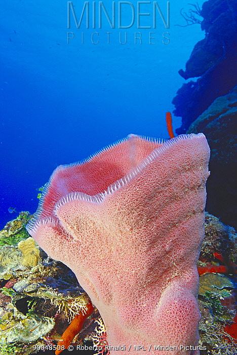 Pink vase sponge (Niphates digitalis) on a wall, Cayman Islands  -  Roberto Rinaldi/ npl