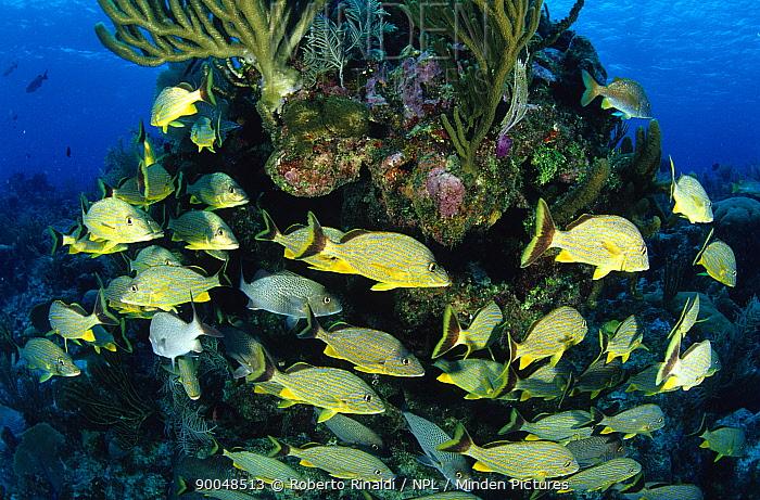 Blue striped grunts (Haemulon sciurus), Cayman Islands  -  Roberto Rinaldi/ npl