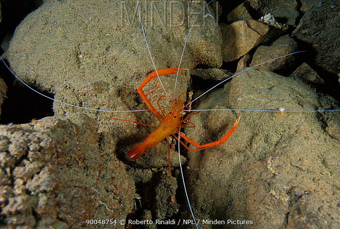 Golden coral shrimp (stenopus spinosus) in Deer cave (grotta dei Cervi), Sardinia, Italy  -  Roberto Rinaldi/ npl