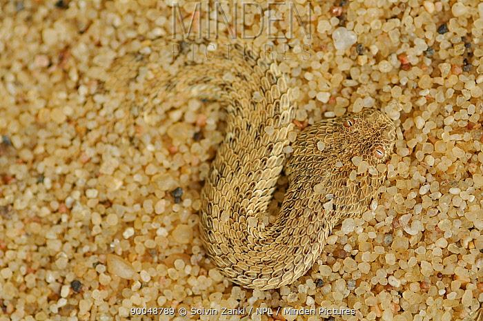 Peringuey's Sidewinding Adder (Bitis peringueyi) buried in sand, Swakopmund, Namib Desert, Namibia  -  Solvin Zankl/ npl