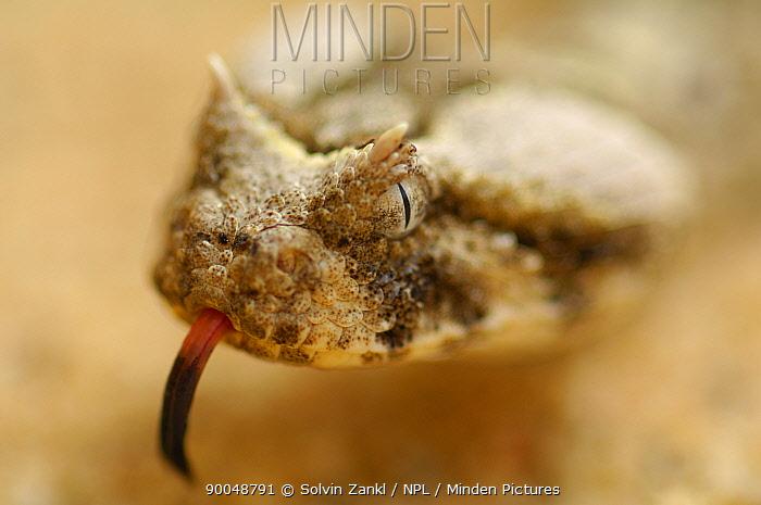 Horned Adder (Bitis caudalis) Namib Desert, Namibia  -  Solvin Zankl/ npl