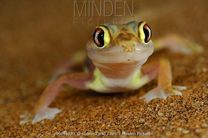 Namib Sand Gecko (Palmatogecko rangei) on sand dune, Namib Desert, Namibia  -  Solvin Zankl/ npl