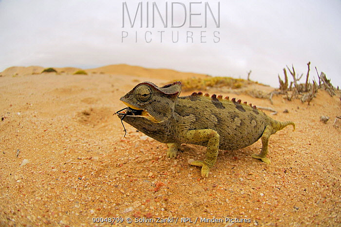 Namaqua Chameleon (Chamaeleo namaquensis) feeding on insect, Namib Desert, Namibia  -  Solvin Zankl/ npl