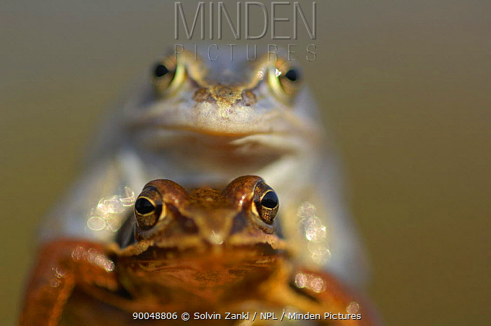 Moor Frog (Rana arvalis) mating pair, Germany  -  Solvin Zankl/ npl