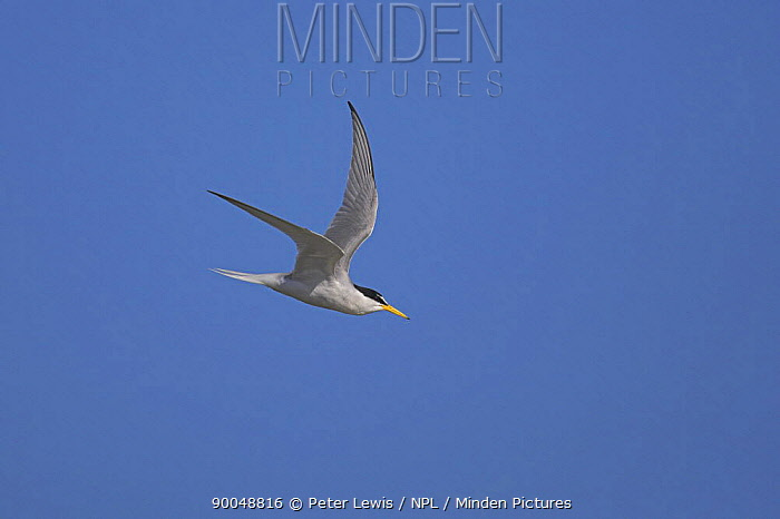 Little Tern (Sterna albifrons) in flight over Hayling Island, Hampshire  -  Peter Lewis/ npl