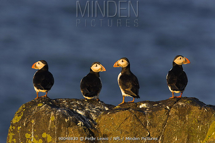 Atlantic Puffin (Fratercula arctica) group perched on a rock off the Isle of, Scotland  -  Peter Lewis/ npl