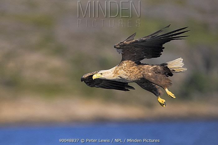 White-tailed Eagle (Haliaeetus albicilla) in flight, Norway  -  Peter Lewis/ npl