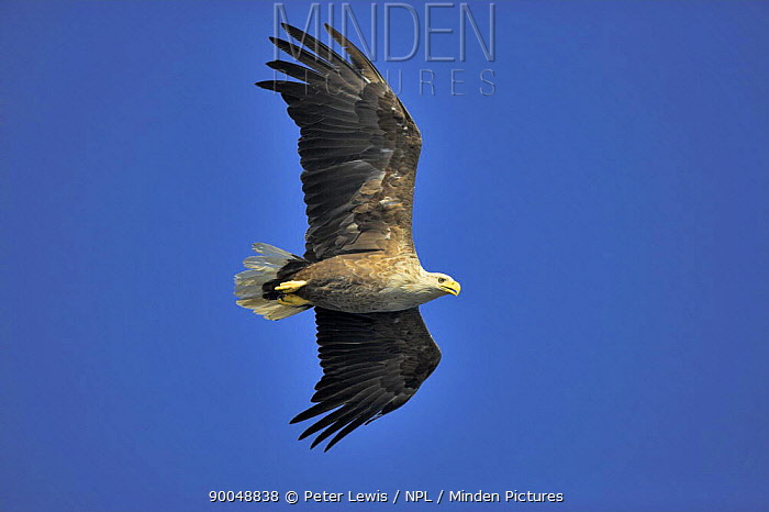 White-tailed Eagle (Haliaeetus albicilla) in flight against blue sky, Norway  -  Peter Lewis/ npl