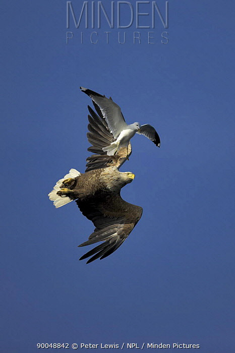White-tailed Eagle (Haliaeetus albicilla) in flight being mobbed by a common gull (Larus canus), Norway  -  Peter Lewis/ npl