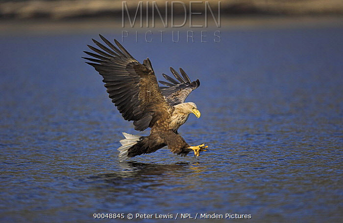 White-tailed Eagle (Haliaeetus albicilla) hunting on water, Norway  -  Peter Lewis/ npl