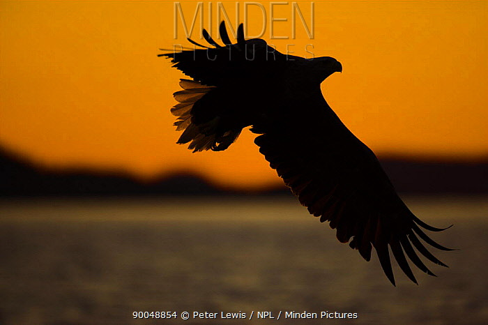 White-tailed Eagle (Haliaeetus albicilla) in flight, silhouetted against a setting sun and distant mountains, Norway  -  Peter Lewis/ npl