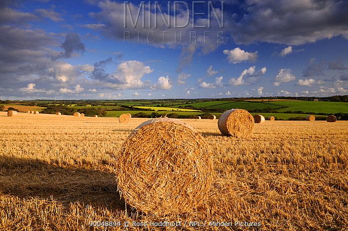 Round straw bales and morning light, near Bradworthy, Devon, UK September 2008  -  Ross Hoddinott/ npl