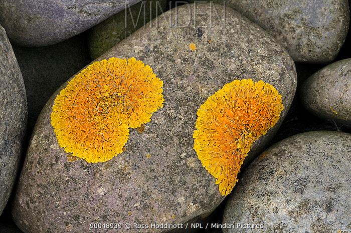 Common Orange Lichen (Xanthoria parietina) growing on stone, Exmoor National Park, Somerset, United Kingdom  -  Ross Hoddinott/ npl