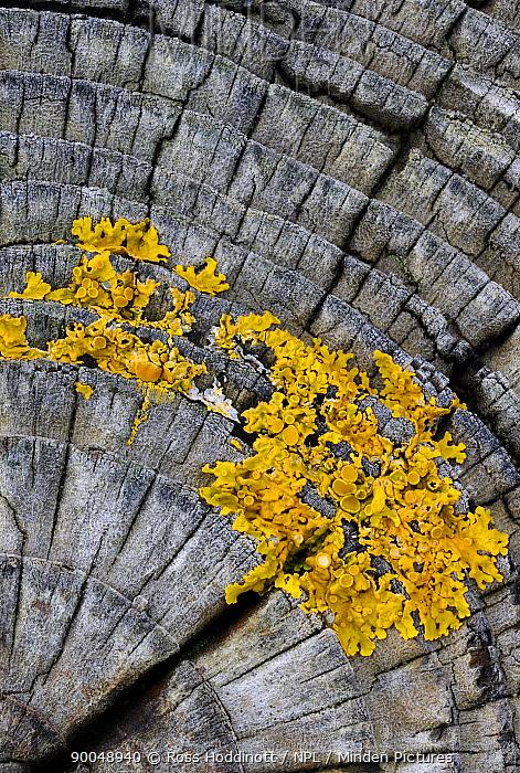 Common Orange Lichen (Xanthoria parietina) growing on groyne, Exmoor National Park, Somerset, United Kingdom  -  Ross Hoddinott/ npl
