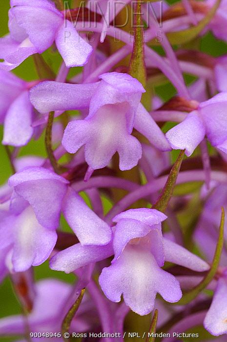Fragrant Orchid (Gymnadenia conopsea) Cotswolds, United Kingdom  -  Ross Hoddinott/ npl
