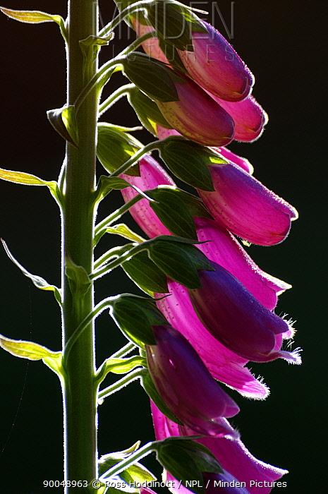 Purple Foxglove (Digitalis purpurea) backlit, Cornwall, United Kingdom  -  Ross Hoddinott/ npl