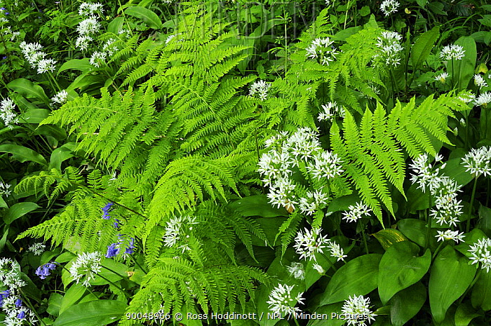 Wild Garlic (Allium ursinum) and fern, Coombe Valley, Cornwall, United Kingdom  -  Ross Hoddinott/ npl
