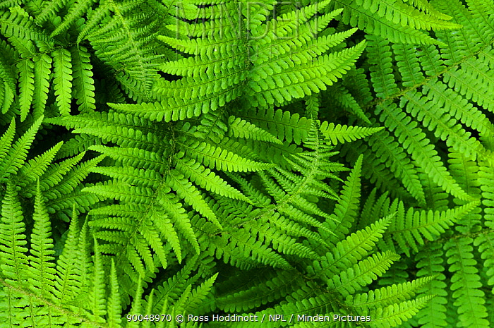 Scaly male fern (Dryopteris affinis) Cornwall, UK August  -  Ross Hoddinott/ npl